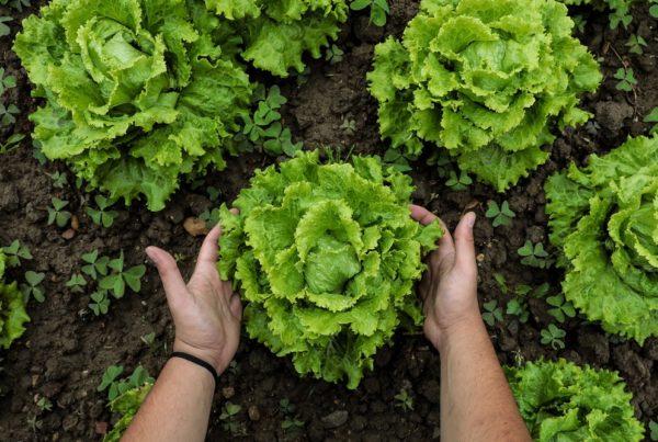 productividad cultivos rendimiento cosechas agricultura sanidad vegetal aepla
