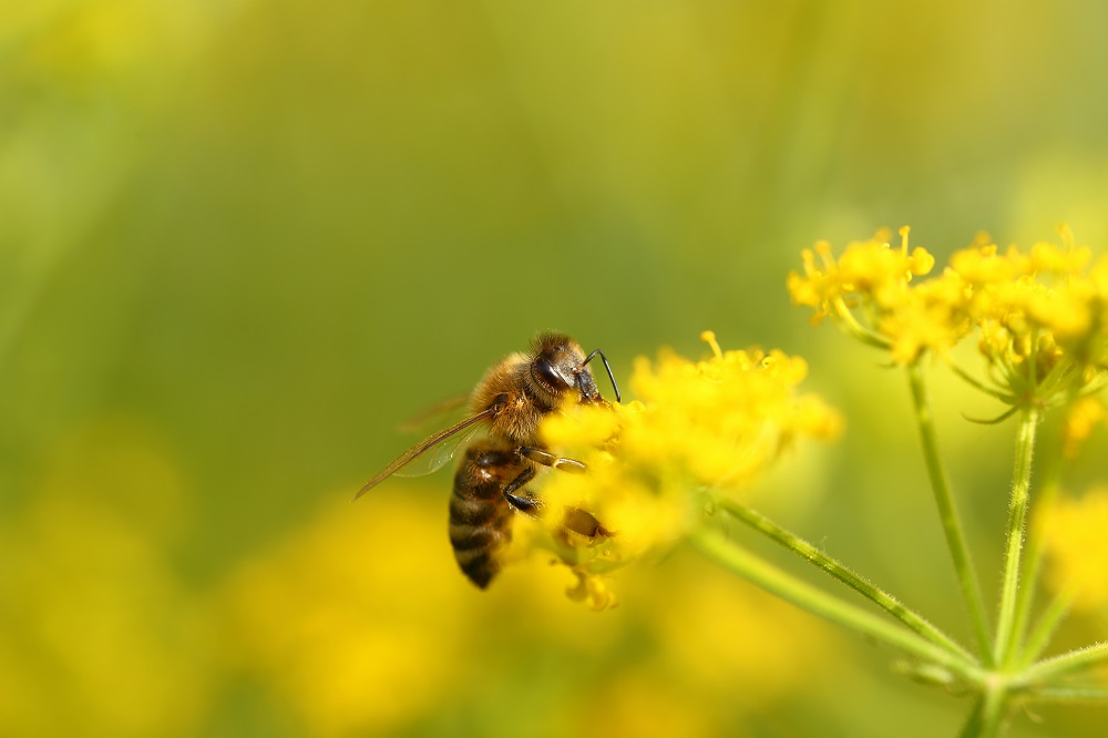 polinizadores abejas buenas prácticas agrícolas especies polinizadoras productos fitosanitarios sanidad vegetal agricultura aepla