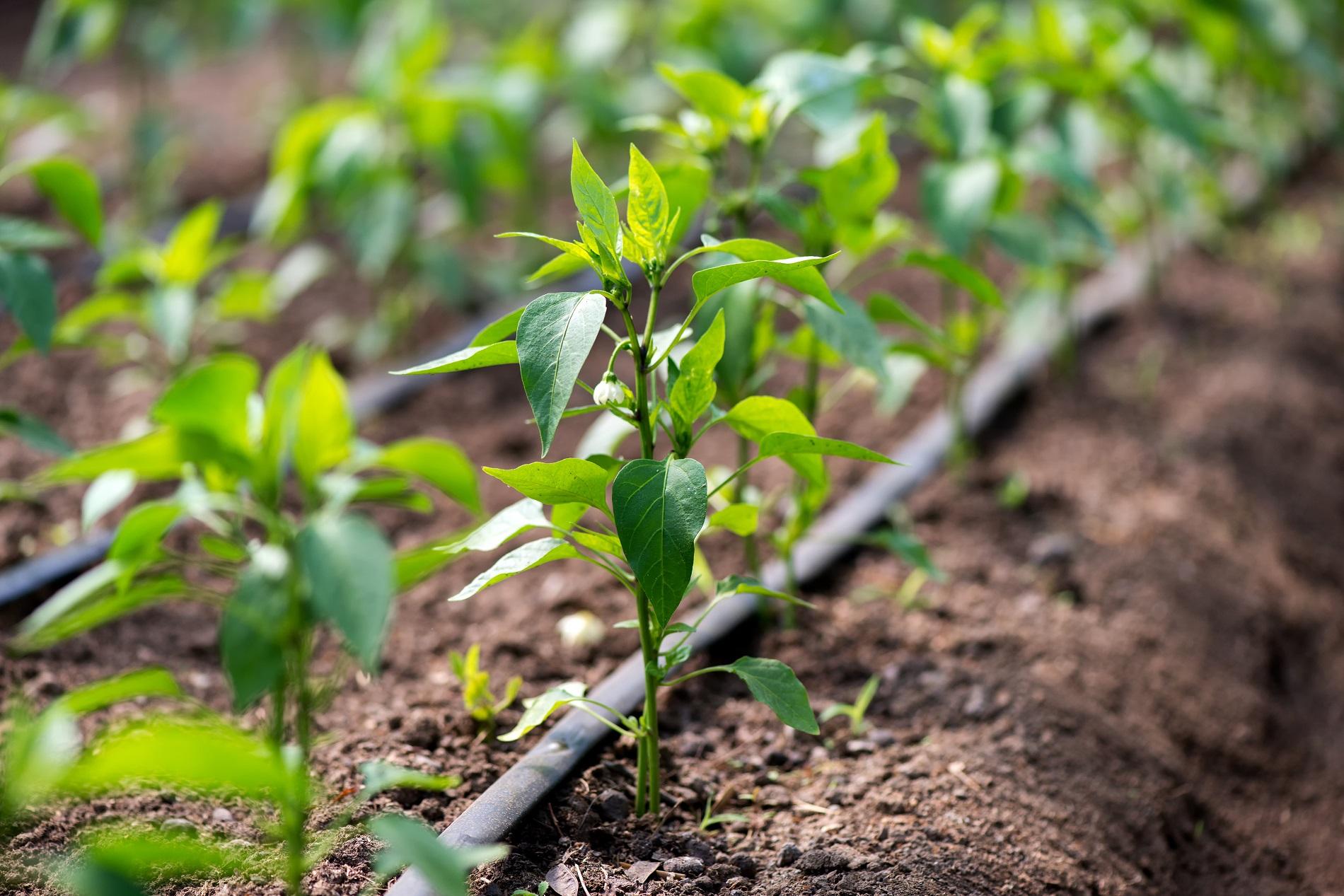 Buenas prácticas agrícolas: Sistemas eficientes para el riego de los cultivos