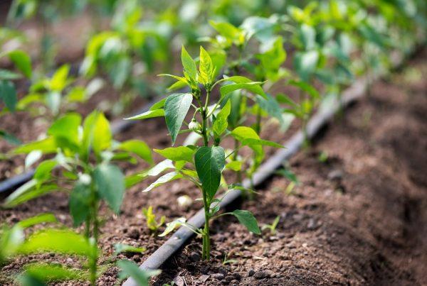 buenas prácticas agrícolas sistemas de riego agua de riego gestión eficiente de recursos agricultura sanidad vegetal aepla