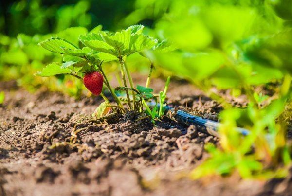 riego localizado por goteo buenas prácticas agrícolas consumo eficiente de agua agricultura sostenible sanidad vegetal aepla