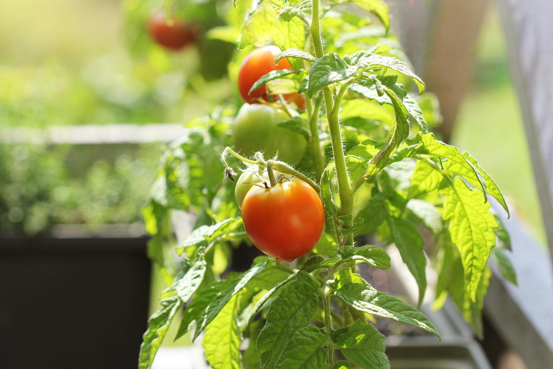 ¿Qué cuidados debes aplicar a tu huerto doméstico en los meses de verano?