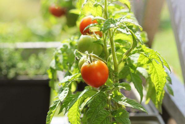 verano huerto doméstico protección de cultivos sanidad vegetal huerto urbano agricultura aepla