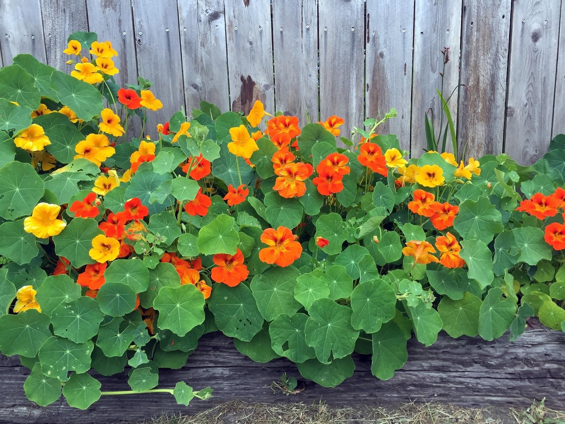 Asociaciones de cultivos para repeler plagas y enfermedades en tu huerto doméstico