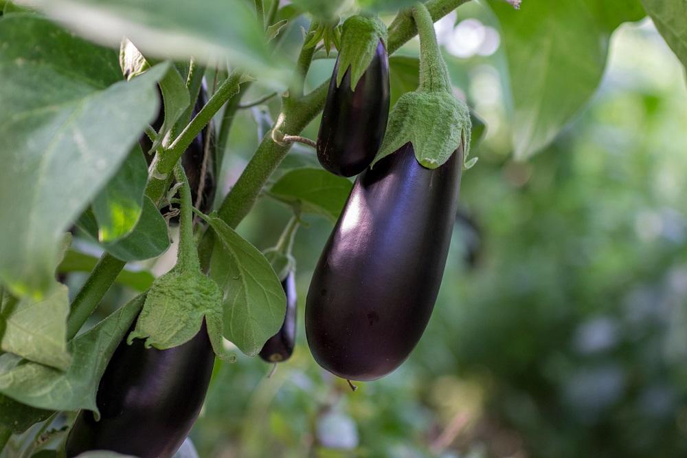 combinación de cultivos agricultura sostenible protección de cultivos sanidad vegetal agricultura aepla