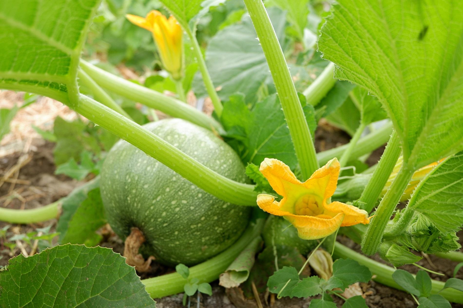 Familias de cultivos y necesidades de sanidad vegetal: Cucurbitáceas