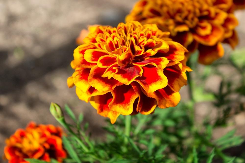 ¿Qué plantas son especialmente beneficiosas para tu huerto o jardín?