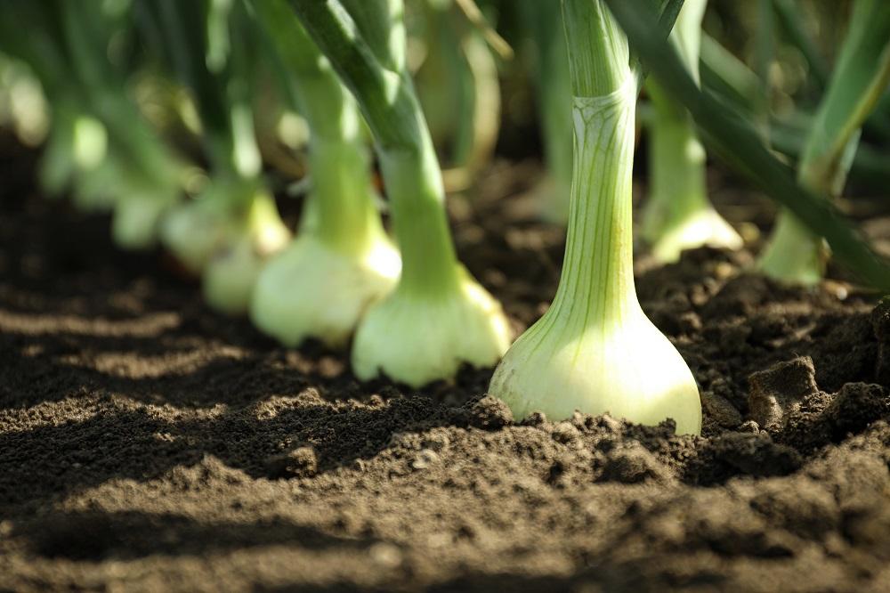 liliáceas familias de cultivos sanidad vegetal fitosanitarios agricultura aepla