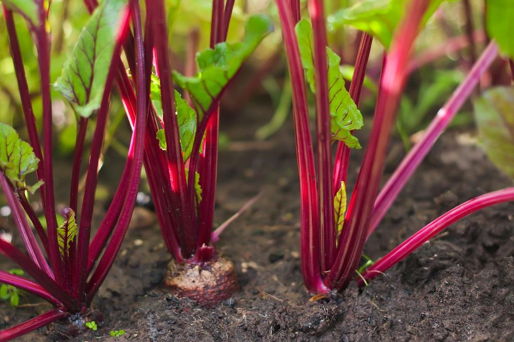 Familias de cultivos y necesidades de sanidad vegetal: quenopodiáceas