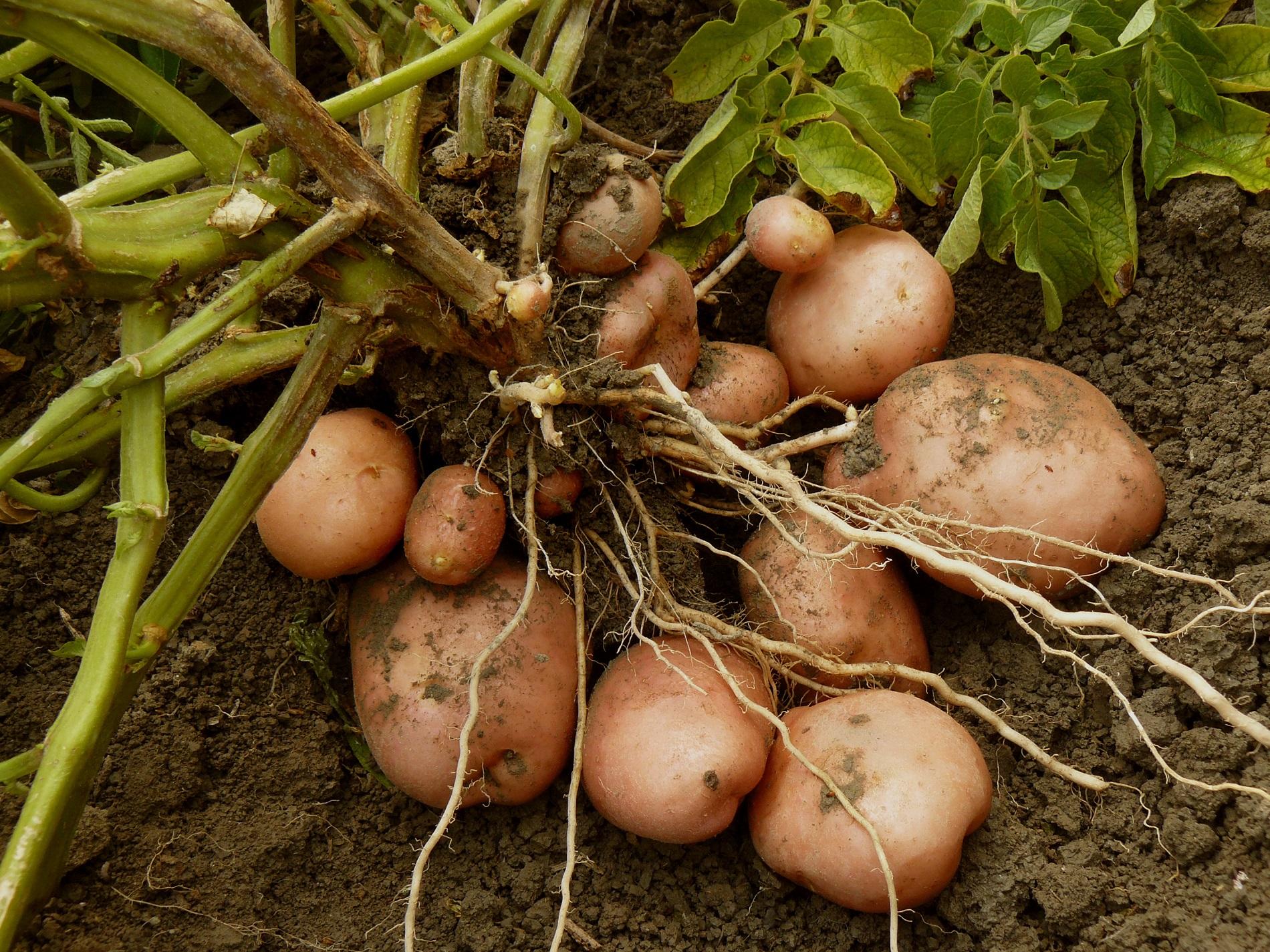 Familias de cultivos y necesidades de sanidad vegetal: solanáceas