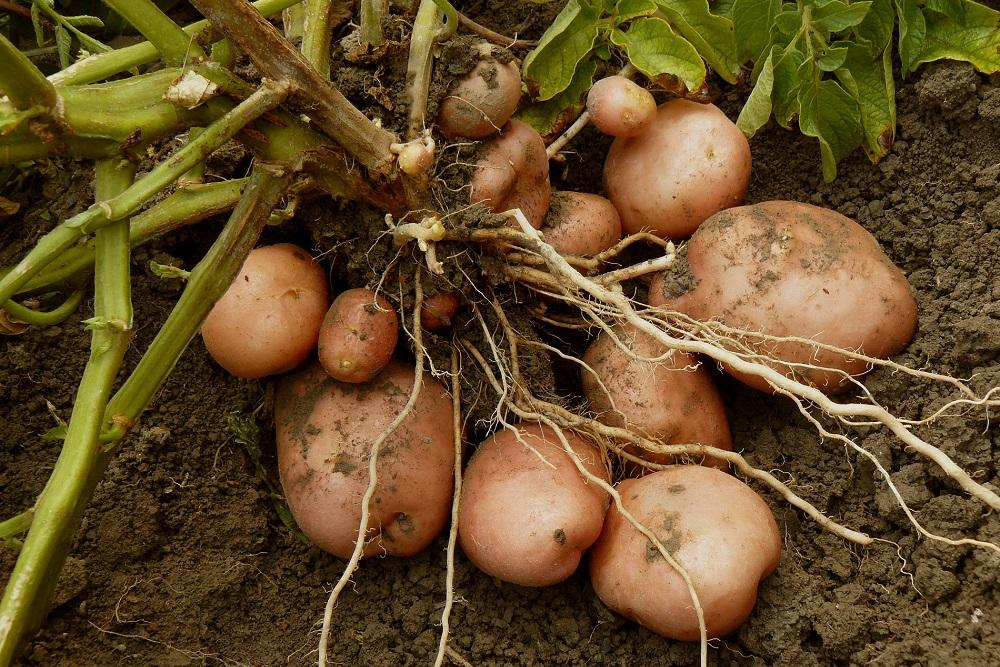 solanáceas familias de cultivos sanidad vegetal fitosanitarios agricultura aepla